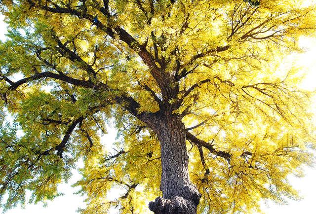 院子里有两棵巨大的银杏树,已经是几百岁的高龄了.